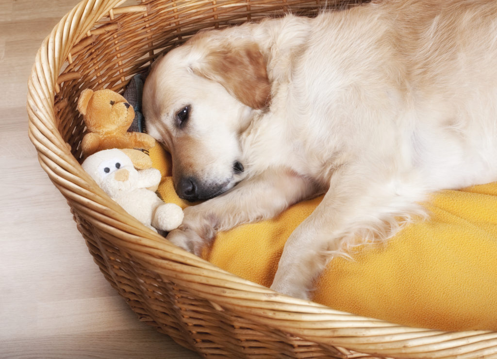 Golden Retriever sleeping in her basket
